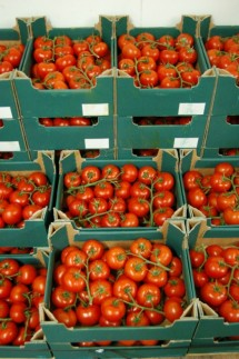 Top quality vine tomatoes