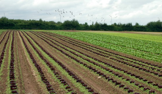 Lettuce growing in Herefordshire